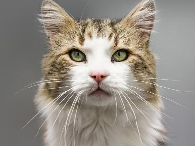 Photographie d'un chat atteint du FIV.