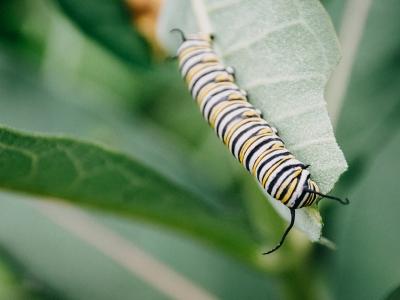 Photographie d'une chenille de monarque.