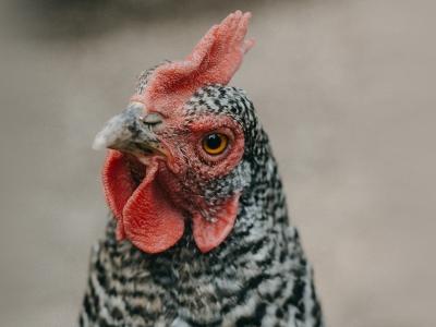 Photographie d'une poule.
