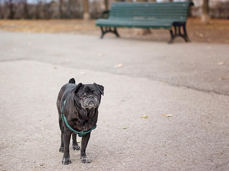 Photographie d'un pug dans le parc.